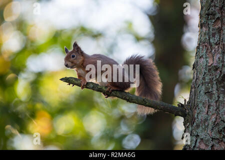 Red Squirrel  (Sciurus vulgaris) sitting on a high branch backlit by sunlight streaming through forest canopy. - Stock Image