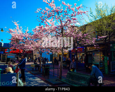 Gilkes street in Middlesbrough town centre with cherry blossom flowering in spring - Stock Image