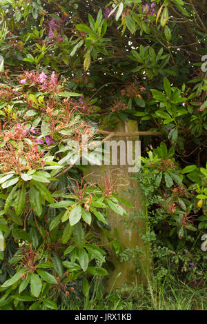 Overgrown headstone in KirkOswald graveyard Scotland - Stock Image