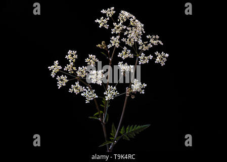 Anthriscus sylvestris  Ravenswing, apiaceae. Cow parsley, white flowers. - Stock Image