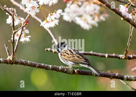Hailsham, UK. 26th Mar, 2019. UK weather. A Reed bunting (Emberiza schoeniclus) perches among Cherry blossom this morning in Hailsham, East Sussex, UK. Credit: Ed Brown/Alamy Live News - Stock Image