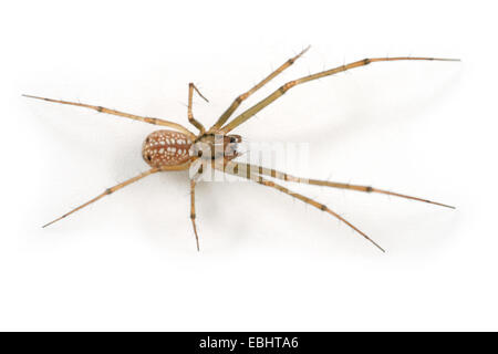 A female sheetweb weaver spider (Floronia bucculenta) on white background. The sheetweb weavers are part of the - Stock Image