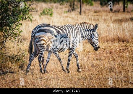 Baby Burchell's Zebra, Equus quagga burchelli, camouflaged against its mother, Ol Pejeta Conservancy, Kenya, - Stock Image