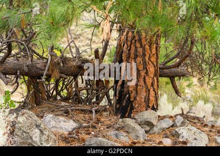 Ponderosa pines on self-guided desert terrain walk at NK'MIP Desert Cultural Centre, Osoyoos BC Canada. - Stock Image