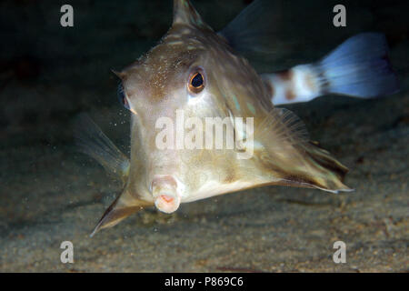 Humpback Turretfish (Tetrosomus gibbosus) from Front. Anilao, Philippines - Stock Image
