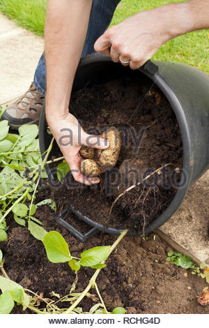Gardener harvesting potatoes that have been grown in a container - Stock Image