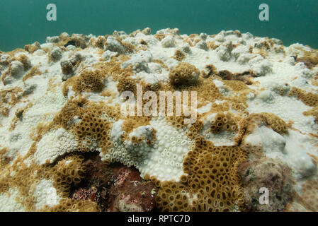 Palythoa caribaeorum coral showing strong signs of coral bleaching/whitening, from SE Brazil, Ilhabela - Stock Image