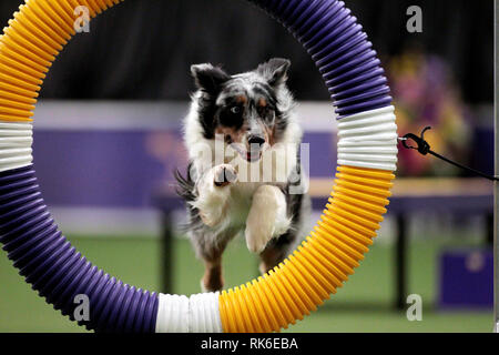 Westminster Dog Show - 9 February 2019, New York City:  Silk, an Australian Shepard, competing in the preliminaries of the Westminster Kennel Club's Master's Agility Championship. - Stock Image