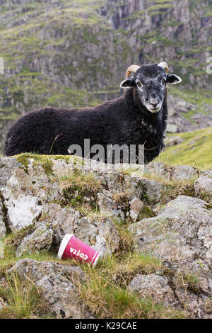 A Herdwick lamb next to a Costa takeaway coffee cup discarded by some brainless idiot, half way up Red Screes in the Lake District, UK. - Stock Image