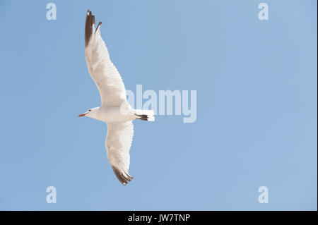 Audouin's Gull, (Ichthyaetus or Larus audouinii), in flight, Ibiza, Balearic Islands, Spain, Mediterranean Sea - Stock Image