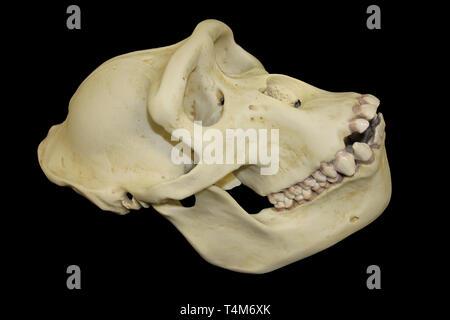 Female Gorilla Skull - Stock Image