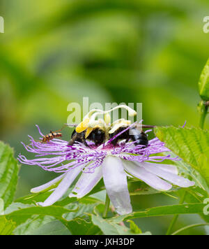 Two bumblebees on a beautiful Passion Flower (Passiflora) with copy space - Stock Image
