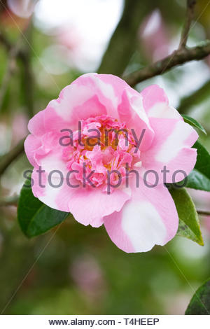 Camellia x williamsii 'Ballet Queen Variegated' flower. - Stock Image