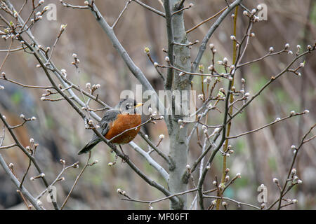 Close up of Robin (bird) on sitting on branch. - Stock Image
