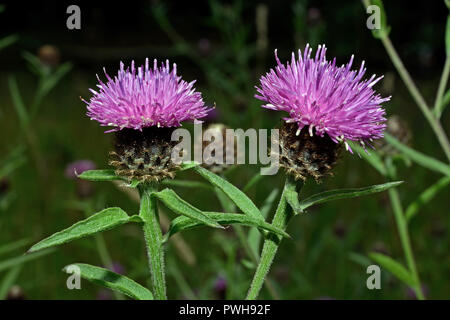 Centaurea nigra (lesser knapweed) is a perennial herb native to Europe where it occurs in meadows and other grassland habitats. - Stock Image