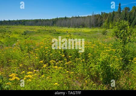 Tansy Tansy (Tanacetum vulgare) on Shangrila Road, Near Sioux Narrows, Ontario, Canada - Stock Image