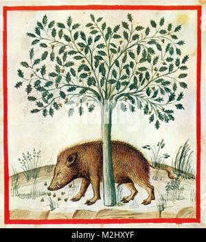 'Tacuinum Sanitatis', Acorns - Stock Image