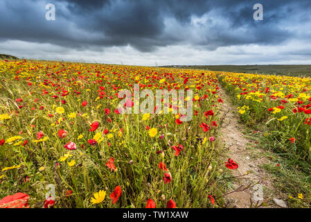The spectacular sight of a field of Common Poppies Papaver rhoeas growing on West Pentire in Newquay in Cornwall. - Stock Image