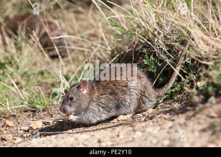 Brown Rat, (Rattus norvegicus), feeding on waste food, Brent Reservoir, also known as Welsh Harp Reservoir, Brent, London, United Kingdom - Stock Image