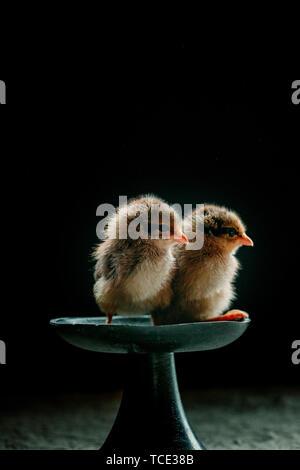 Two newborn chicks sitting on a dish - Stock Image