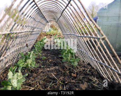 Peas - Pisum sativum growing under a metal frame - Stock Image