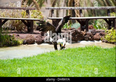 american bald eagle pouncing on prey in water with flapping wings - Stock Image