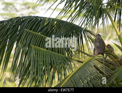 Long tailed macaque sitting on the branch of a palm tree - Stock Image