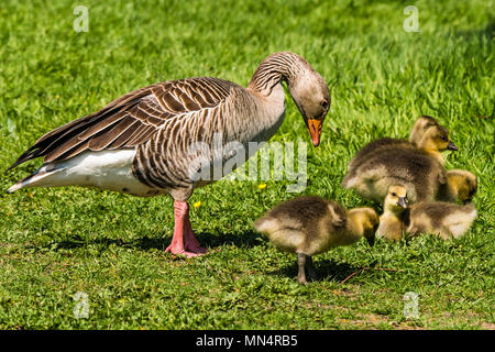 Greylag Goose and goslings at Chartwell, Kent, UK - Stock Image