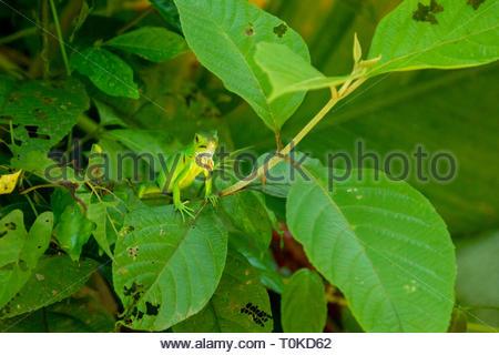 Green Iguana (Iguana iguana), taken in Costa Rica - Stock Image
