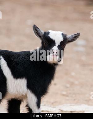 cute baby goat - eye contact - Stock Image