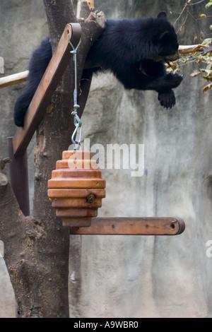 Black bear in a tree - Stock Image