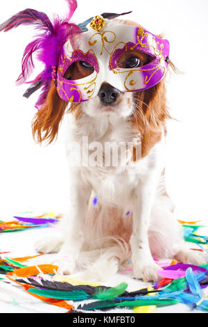 Cute cavalier king charles spaniel dog puppy on isolated white studio background. Dog puppy with carnival mask. - Stock Image