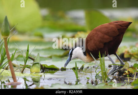 An African jacana (Actophilornis africanus) walking on floating vegetation with its long toes and claws in the Mabamba Swamp. Mabamba Bay Wetlands,  W - Stock Image