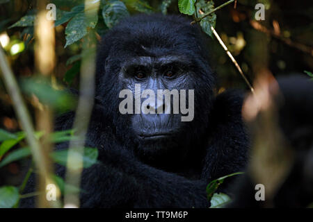 Eye Contact with a Mountain Gorilla (Gorilla beringei beringei). Bwindi Impenetrable National Park, Uganda - Stock Image