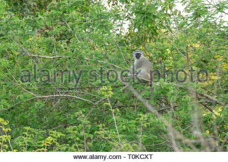 Vervet Monkey (Chlorocebus aethiops), taken in South Africa - Stock Image