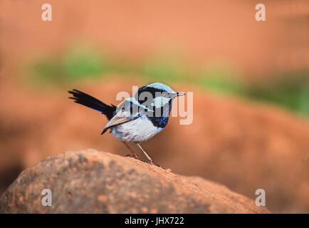 adult male Superb Fairywren,(Malurus cyaneus), Lamington National Park, Queensland, Australia - Stock Image