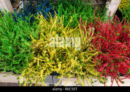 Painted Calluna plants at garden center - Stock Image