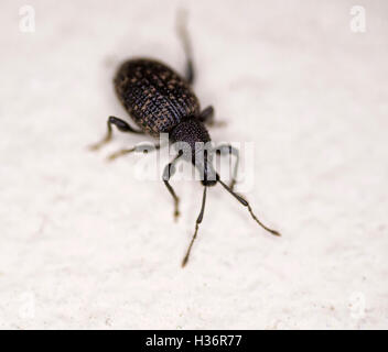 Vine weevil Otiorhynchus sulcatus garden pest on neutral background - Stock Image