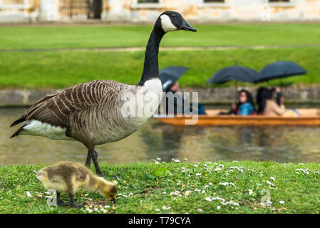 Canadian goose with newly born baby gosling on the banks of the river Cam with punting opposite Wren Library of Cambridge, England, UK. - Stock Image
