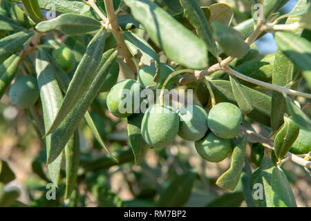 Green ripe olives growing on olive tree in garden - Stock Image