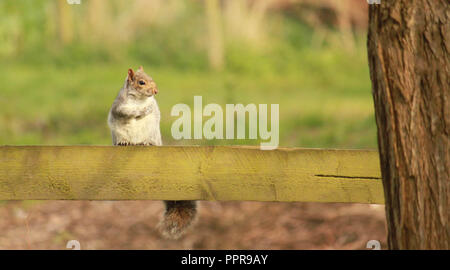 Grey squirrel sitting on a fence in a park in the sunshine. Sciurus carolinensis - Stock Image