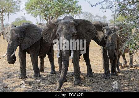 African elephants with small tusks on the grasslands of the Tarangire National Park, Tanzania, East Africa. - Stock Image