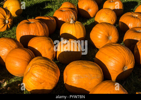 Chard, Somerset 30th Oct A selection of bright orange pumpkins for Halloween. Photo Central/Alamy Live News - Stock Image