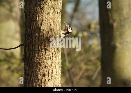 Greater spotted woodpecker peeking out from behind a tree. - Stock Image