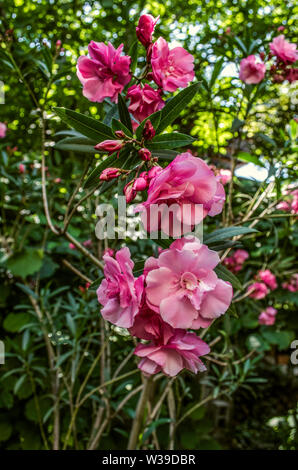 Twigs with flower buds terry, pink oleander on the background of green leaves in the garden - Stock Image