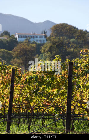 Vines grow on wine estates, below expensive hillside homes, in the suburb of Constantia, Cape Town, South Africa. - Stock Image