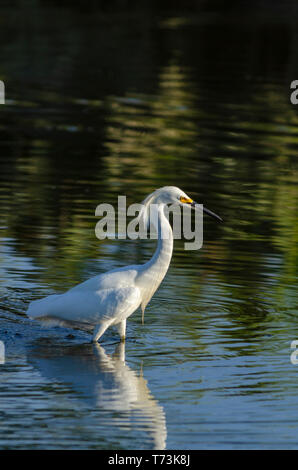 Snowy Egret (egretta thula) along the shore of Expo Park pond looking for small fish, Aurora Colorado US. Photo taken in July. - Stock Image