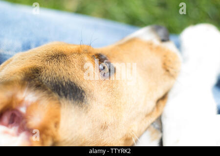 puppy beagle dog rear view - Stock Image