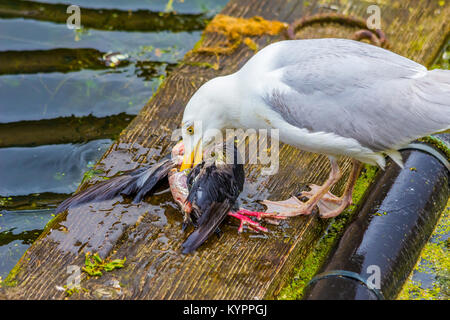 Seagull eating bird, Carnivore. - Stock Image