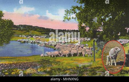 Postcard booklet, Sheep on the range at San Angelo, Texas, USA.      Date: 1942 - Stock Image